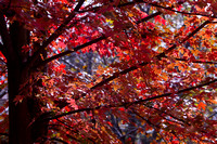 Red Maple - Fall at GY 5